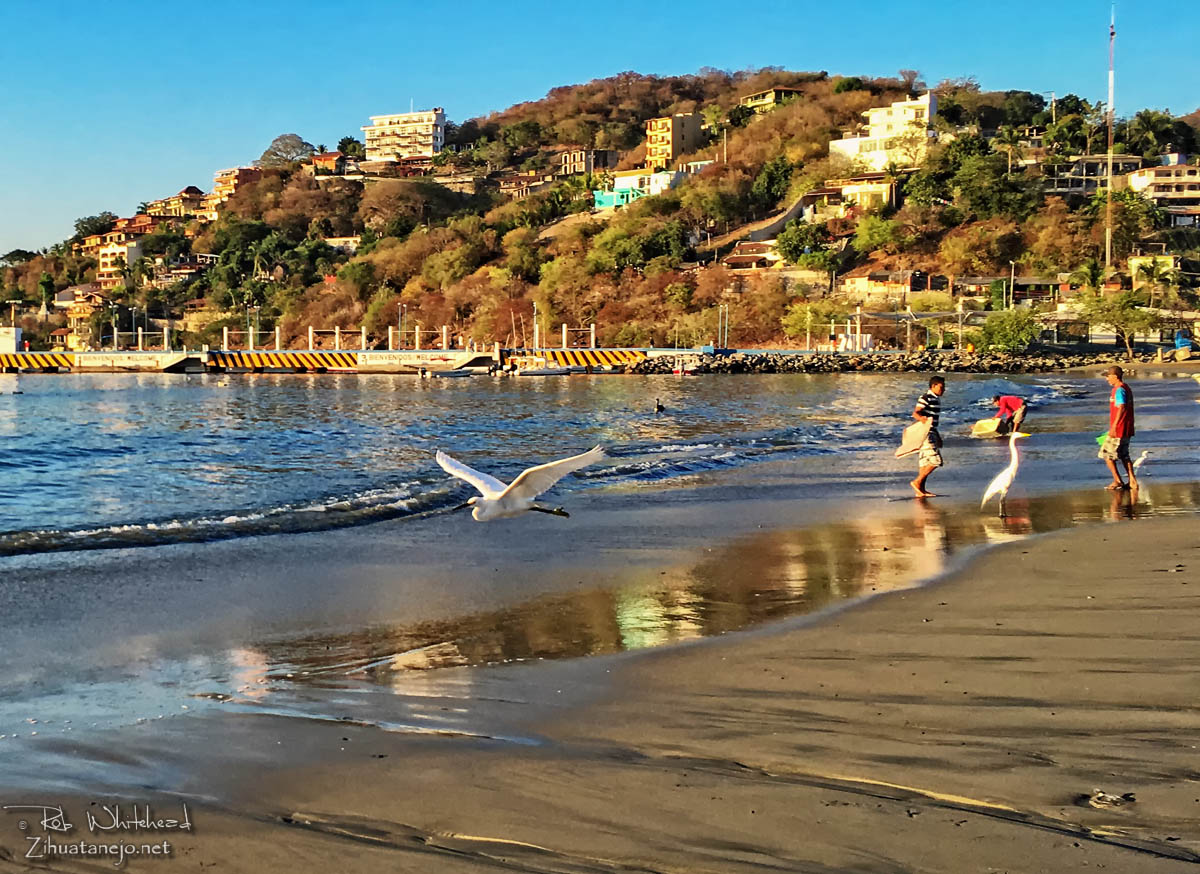 Snowy egret flying on Playa Principal, Zihuatanejo